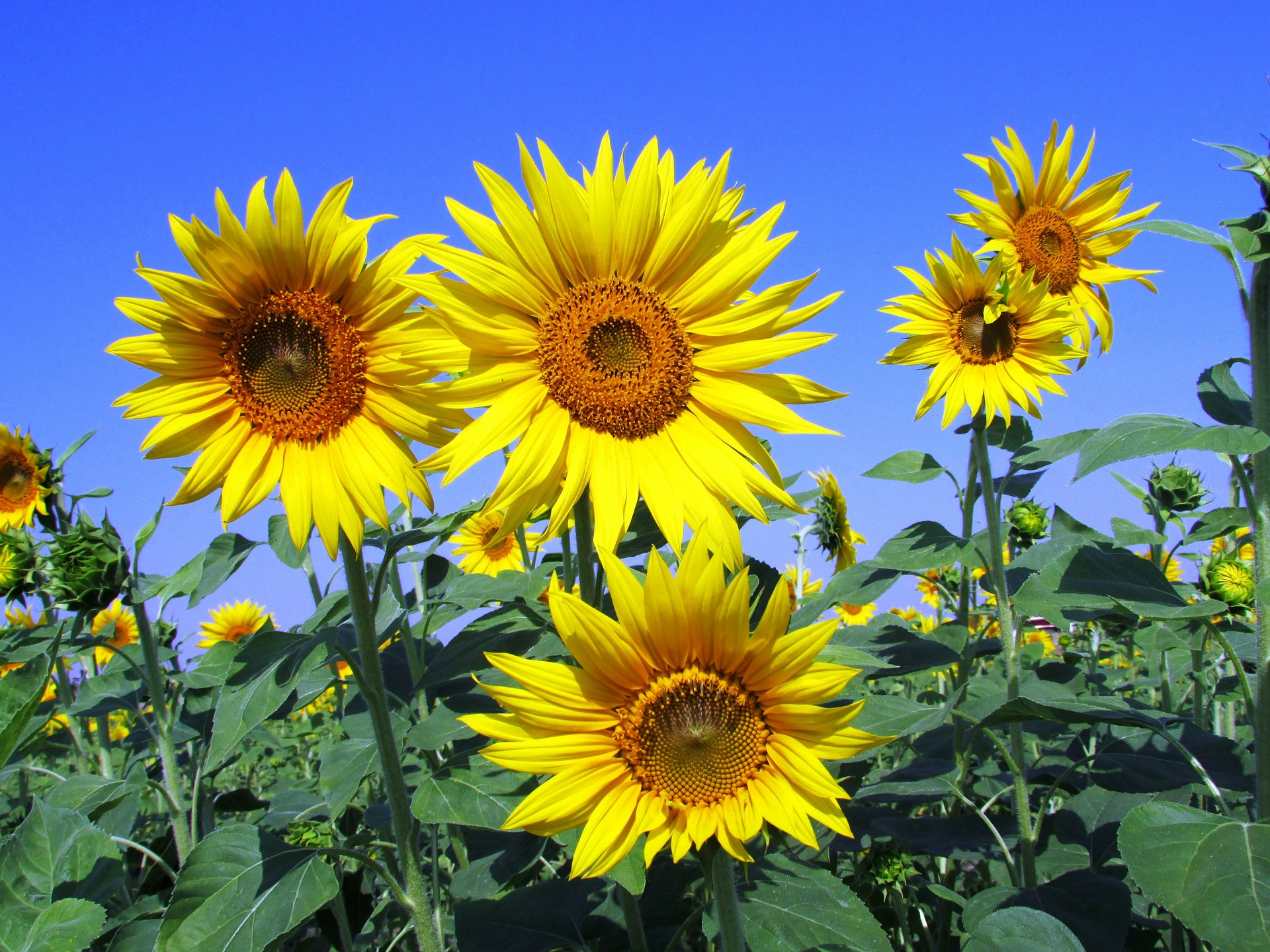 sunflowers-268015_1920.jpg